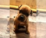 Puppy 2 Staffordshire Bull Terrier