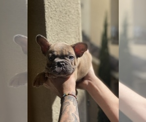 French Bulldog Puppy for sale in CHULA VISTA, CA, USA