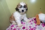 Mal-Shi Puppy For Sale in PATERSON, NJ, USA