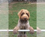 Small #13 German Wirehaired Pointer