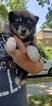 Puppy 3 Alaskan Malamute