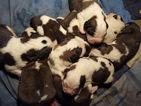 Saint Bernard Puppy For Sale in HOPKINS, MI