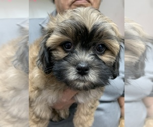 Zuchon Puppy for Sale in CHICO, California USA