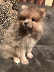 Pomeranian Puppy For Sale in AZLE, TX, USA