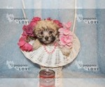 Small #6 Maltese-Poodle (Toy) Mix