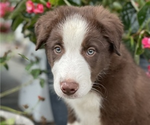 Border Collie Puppy for sale in LEXINGTON, KY, USA