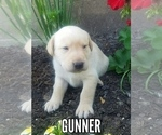 Labrador Retriever Puppy For Sale in CATO, NY, USA