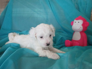Poochon Puppy For Sale in FLUSHING, MI, USA