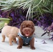 Chinese Shar-Pei Puppy For Sale in SAN ANTONIO, TX, USA