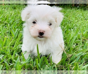 Maltese Puppy for Sale in ORLANDO, Florida USA