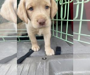 Labrador Retriever Puppy for Sale in CULLMAN, Alabama USA