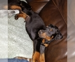 Small #18 Doberman Pinscher