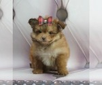 Puppy 5 Pom-A-Poo-Poodle (Toy) Mix