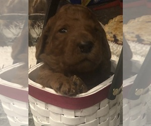 Poodle (Standard) Puppy for Sale in VICTOR, New York USA