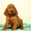 Irish Setter Puppy For Sale in GAP, PA