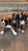 2 male boxer puppies