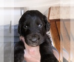 Small #32 Labradoodle