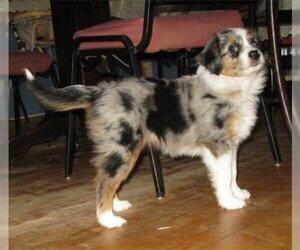 Australian Shepherd Puppy for Sale in CAMPBELL, Minnesota USA