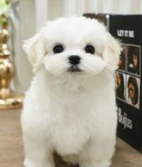 Maltese Puppy for sale in CHICAGO, IL, USA