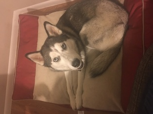 Siberian Husky Dog For Adoption in SAN ANTONIO, TX