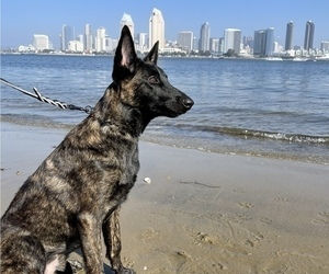Dutch Shepherd Dog Puppy for sale in SAN DIEGO, CA, USA