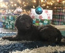 Labradoodle Puppy For Sale in BARNESVILLE, GA, USA