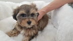 Maltese-Morkie Mix Puppy For Sale in LA MIRADA, CA, USA