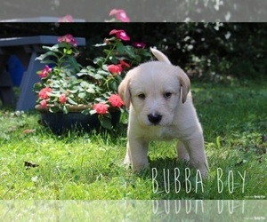 Labrador Retriever-Sheepadoodle Mix Puppy for Sale in DELTA, Pennsylvania USA