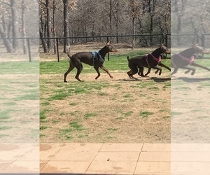 Doberman Pinscher Puppy for sale in PARADISE, TX, USA
