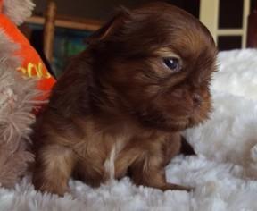 View Ad Shih Tzu Puppy For Sale Near Michigan Smiths Creek Usa