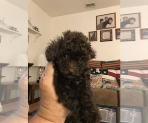 Poodle (Toy) Puppy for Sale in KISSIMMEE, Florida USA