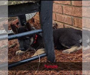 German Shepherd Dog Puppy for sale in MONTEZUMA, GA, USA