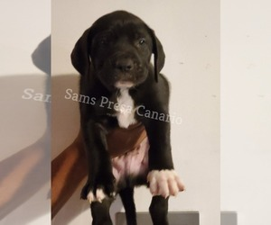 Presa Canario Puppy for Sale in ATL, Georgia USA