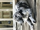 Great Dane Puppy For Sale in LEES SUMMIT, MO,