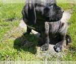 Small #16 Mastiff