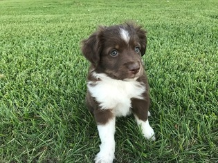 Miniature Australian Shepherd Puppy For Sale in EARLY, TX
