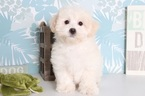 Maltipoo Puppy For Sale in NAPLES, FL, USA