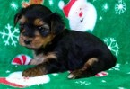 Shorkie Tzu Puppy For Sale in CONOWINGO, MD