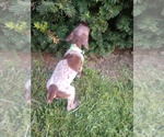 Small #18 German Shorthaired Pointer