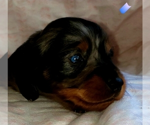 Dachshund Puppy for sale in LAKE PANAMOKA, NY, USA