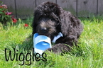 Labradoodle Puppy For Sale in APPLE CREEK, OH, USA