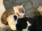 Bullypit Puppy For Sale in TOPEKA, KS, USA