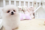 Pomeranian Puppy For Sale in SAN JOSE, CA,
