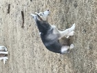 Siberian Husky Puppy For Sale in LITTLE ELM, Texas,