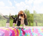 Small Photo #8 Basset Hound Puppy For Sale in UNION CITY, TN, USA