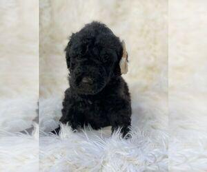 Poodle (Standard) Dog for Adoption in PORTERVILLE, California USA