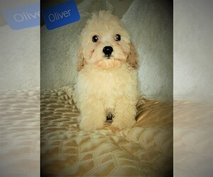 Cavachon Puppy for sale in WASHINGTN TWP, MI, USA