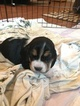 Basset Hound Puppy For Sale in LAKE ELSINORE, CA, USA