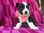 Siberian Husky Puppy For Sale in PEACH BOTTOM, PA,