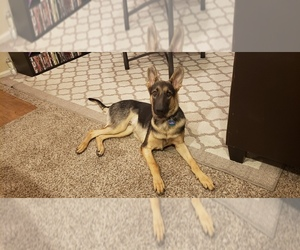 German Shepherd Dog Puppies for Sale near Austin, Texas, USA